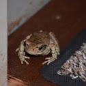 African red toad/Rooiskurwepadda
