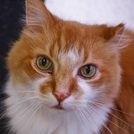 VanGogh by Dana Wigton - Animals - Cats Portraits ( rescue kitty,  )