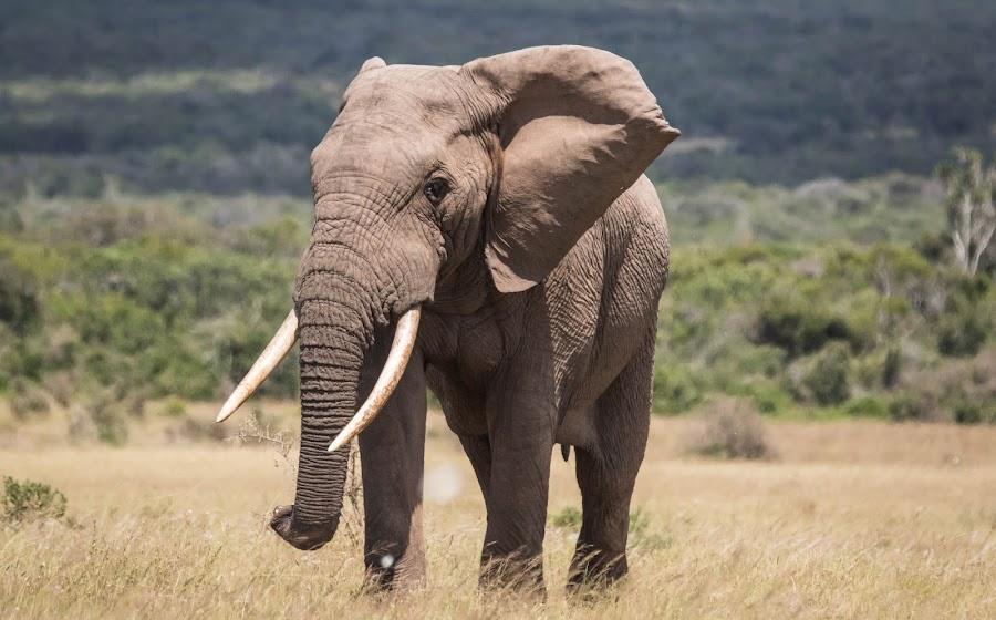 Only the Lonely. by Lanie Badenhorst - Animals Other Mammals ( #elephant, #addonationalpark, #nature, #wildlife )