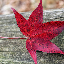 Red Autumn Leaf by Karen Carter - Nature Up Close Leaves & Grasses ( red, autumn, fall, leaf )