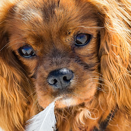 Ruby King Charles Spaniel by Dave Lipchen - Animals - Dogs Portraits ( ruby king charles spaniel )