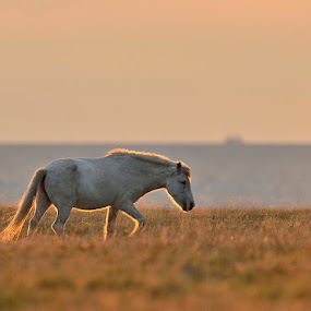 Horse in evening light by Ronnie Bergström - Animals Horses ( hors, horses, evening, light, sun )
