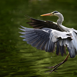 Landing by Bencik Juraj - Animals Birds ( bird, flying, waterfowl, birding )