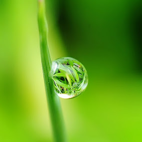 Green Drop by Ruben Dela Cruz - Nature Up Close Leaves & Grasses
