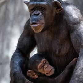 Comfort Zone by David Hammond - Animals Other Mammals ( animals, nature, mother, apes, gorilla, primate, baby,  )