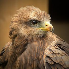 One Eye by Carol Lauderdale - Animals Birds ( plumage, birds of prey, captivity, helmsley centre, avian )