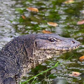 Monitor lizard by Chong Kok - Animals Reptiles ( i'm watching you )