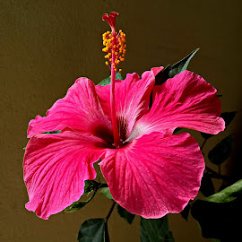 Hibiscus by Prema Pangi - Flowers Single Flower