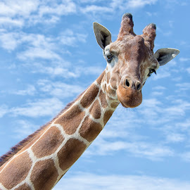 Giraffe  by Kellee Wright - Animals Other Mammals ( face, sky, giraffe, portrait, mammal, animal )