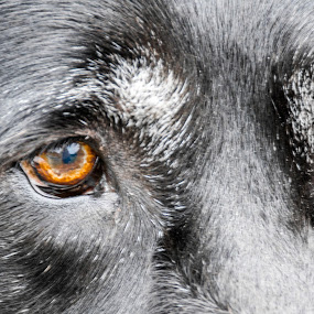 Brown Eyes by Thomas Shaw - Animals - Dogs Portraits ( hairy, brown eyes, brown, black lab, dog, hair, my dog, black, animal, black labrador, eyes )