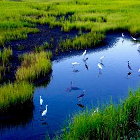 SALT MARSH by Hugh McLaren - Animals Birds