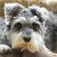 Schnauzer Called Daisy by Mike Tricker - Animals - Dogs Portraits ( pet, schnauzer, dog,  )
