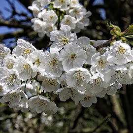 HTB blossom by Michael Moore - Flowers Tree Blossoms (  )