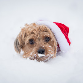 Snow Pup by Barry Knight - Animals - Dogs Puppies ( snow, christmas, dog portrait, puppy, cute )