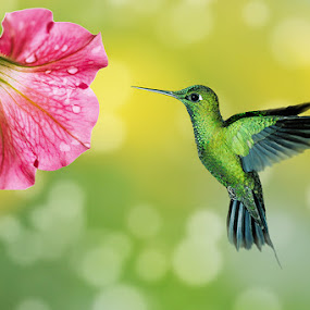Humming Bird by Ferdy Zilo - Animals Birds