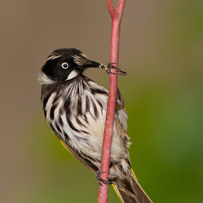 NEW HOLLAND by Adam Visscher - Animals Birds ( bird avian honey eater )