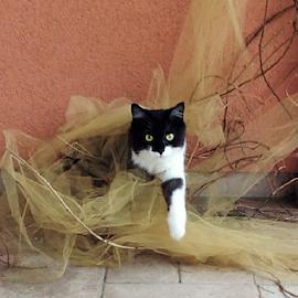 cat by Marija Čaušić - Animals - Cats Playing ( cat, window, black, eyes, curtain )