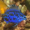 Blue Sapphire Damselfish/Springer's Demoiselle