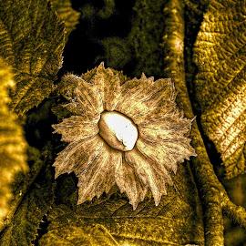 Hazelnuts by Vláďa Lipina - Nature Up Close Other Natural Objects