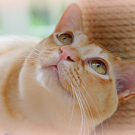 Tom by Caroline Beaumont - Animals - Cats Portraits ( red burmese cat )