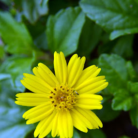 flower by Parasu Raman - Nature Up Close Flowers - 2011-2013 ( macro, small flower, yellow, flower, closeup )
