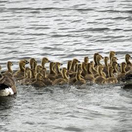 Cheaper By The Dozen by Sheen Deis - Animals Birds ( dozens, nature, goslings, geese, birds )