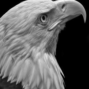 Bald Eagle 005.jpg