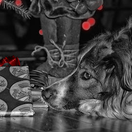 Can Hardly Wait by Twin Wranglers Baker - Animals - Dogs Portraits ( holiday, christmas presents, christmas, english shepherd, dog )
