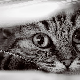 silence soul by Raahan Singh - Animals - Cats Kittens ( cats, lovable, gorgeous, still life, focus,  )