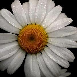 He loves Me #nofilterrequired #daisies #wildflowers #ilovedaisies by Debbie Squier-Bernst - Flowers Single Flower (  )