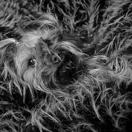 fluffwoof by Barbara Springer - Animals - Dogs Portraits ( fluffy, black and white, little dog, hair, small dog, camouflage )