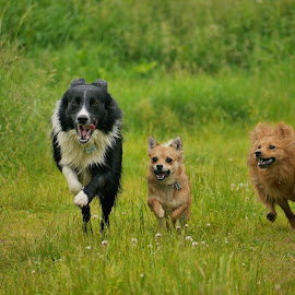 And the're off by Steve Lancaster - Animals - Dogs Running ( pomchi, dogs, border collie, dogs playing, dogs running, pomeranian )