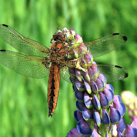 Dragonfly by Mārīte Ramša - Animals Insects & Spiders (  )