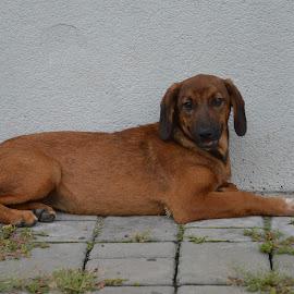 by Drago Ilisinovic - Animals - Dogs Portraits