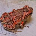The Sri Lankan painted frog