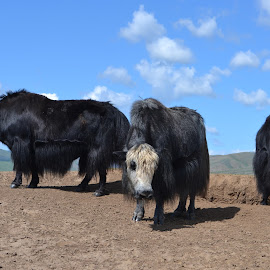 Yaks at Mongolian Desert. by Marcel Cintalan - Animals Other ( animals, sky, desert, yaks, mongolia, cows )