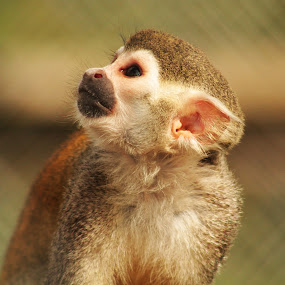 Baby Monkey by Kelly Williams - Animals Other Mammals ( looking, baby, photography, monkey, up, animal,  )