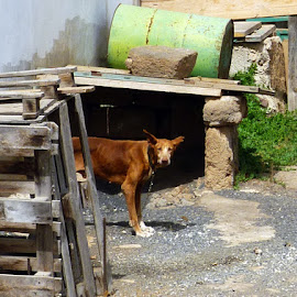 Farm Dog by Claire O'Donnell - City,  Street & Park  Street Scenes