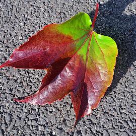 Leaf by Dobrin Anca - Nature Up Close Leaves & Grasses ( green, street, brittany, shape, leaf )