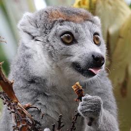 Crown Lemur by Ralph Harvey - Animals Other Mammals ( wildlife, ralph harvey, bristol zoo, animal )