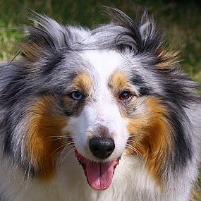 Zak by Chrissie Barrow - Animals - Dogs Portraits ( tongue, long haired, male, white, portrait, eyes, pet, ears, fur, grey, blue merle, tricolour, dog, nose, sheltie, tan,  )