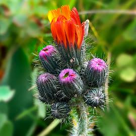 Orange  by Claudiu Petrisor - Instagram & Mobile iPhone ( orange, mountain, meadow, flower, hen )