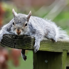 Just Laying Around by Buddy Eleazer - Animals Other Mammals ( squirrel,  )