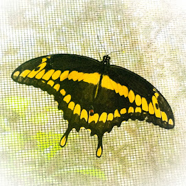 Giant Swallowtail Butterfly by Anne LiConti - Instagram & Mobile Android ( #macrophotography, #phonephoto, #mobilephoto, mobilephotography, #giantswallowtailbutterfly, #macro, #butterfly, #phonephotography, #android )