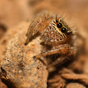 Evarcha jumping spider