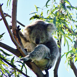 Koala by Sarah Harding - Novices Only Wildlife ( colour, nature, koala, novices only, wildlife )