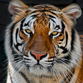 by Shelly Wetzel - Animals Lions, Tigers & Big Cats ( amur tiger )