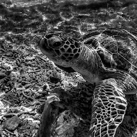 Tortuga by Jose Maria Vidal Sanz - Animals Sea Creatures ( life, black and white, sea )