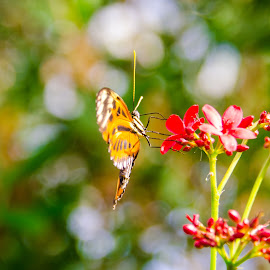 butterfly n bokeh by Jeana Caywood - Animals Insects & Spiders ( scottsdale, butterfly, butterfly world, nectar,  )