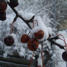 Frosted berries by Beth Alexander - Landscapes Weather ( berry, red, winter, snow, frost, snowy, denmark, frosty, berries )